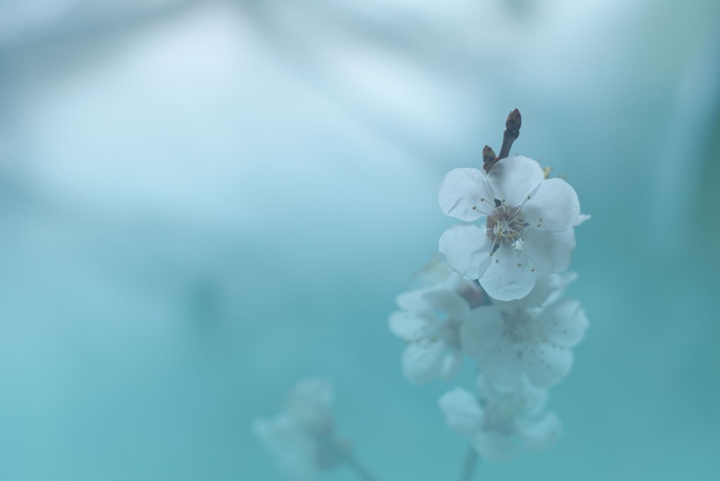 shu_131679110-AsianCherryBlossom-web2